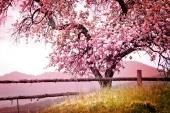 Природа. Цветущее дерево