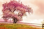 Природа. Цветущее Розовое дерево