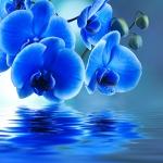 Голубая орхидея над водой