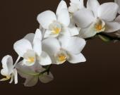 Орхидеи на коричневом фоне