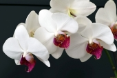 Орхидеи на черном фоне