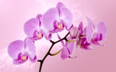 Орхидея на розовом фоне