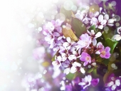 Сиреневое цветение