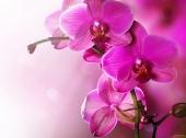 Ярко-розовые орхидеи