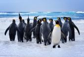 Дружные пингвины